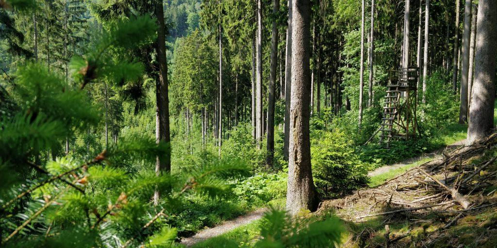 Naturverjüngung mehrerer Baumarten unter Fichten Altholz