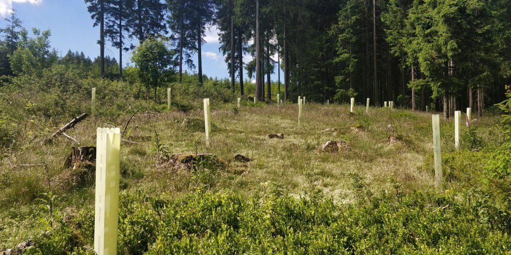 Baumhasel und Schwarznuss in Einzelschutz