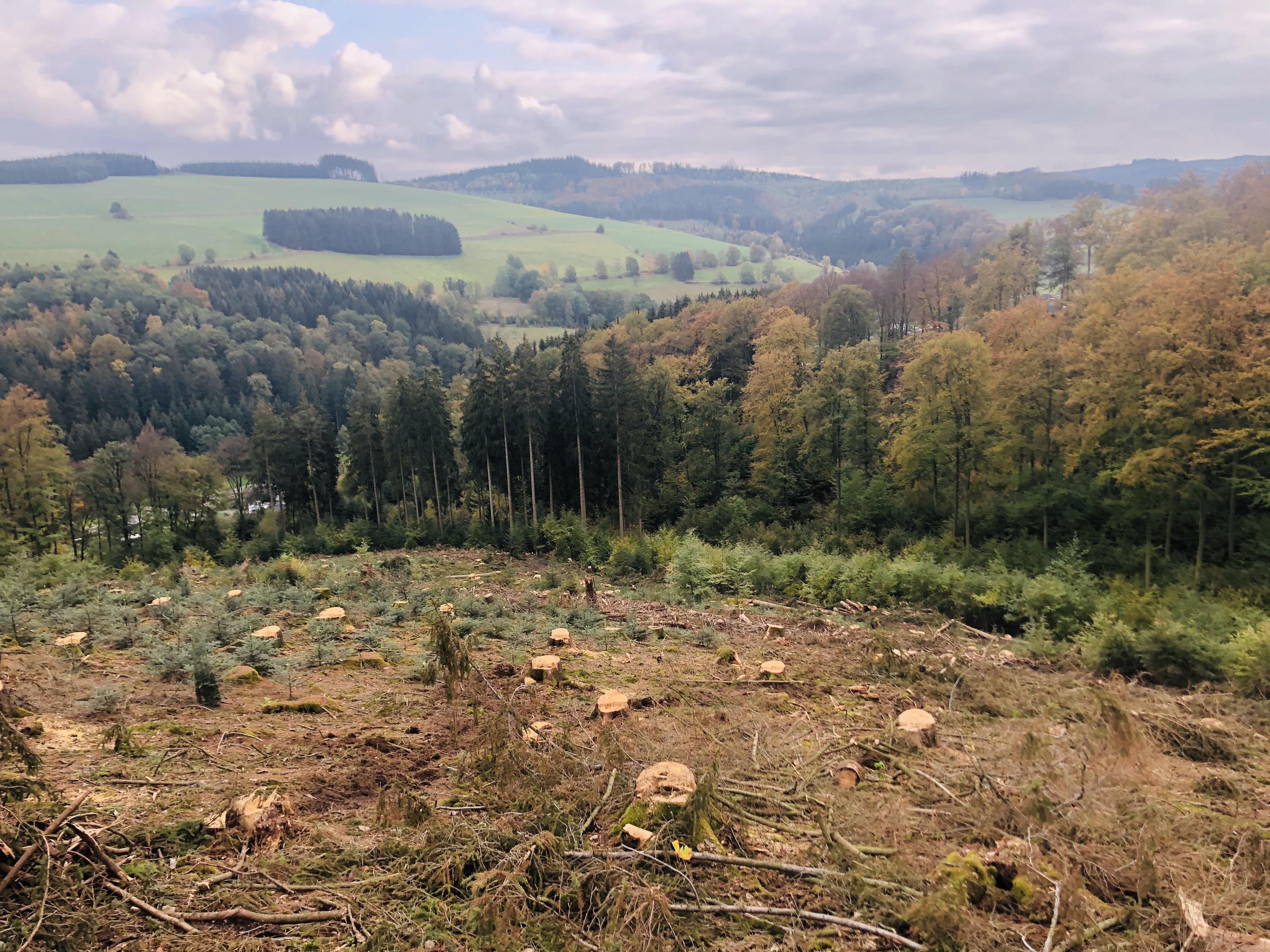 Borkenkäferfläche mit Neuanpflanzung